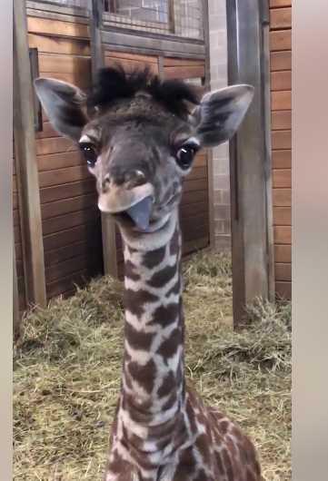 Giraffenzngli.jpg