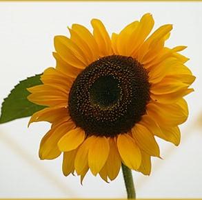 Sonnenblume_2019-04-13.jpg